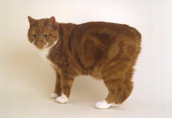 мэнкс кошка фото