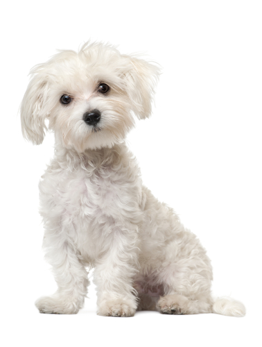 собака болонка фото