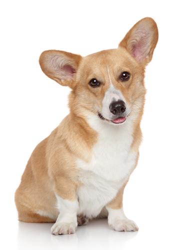 породы собак низкорослых
