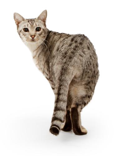 кошки породы оцикет фото
