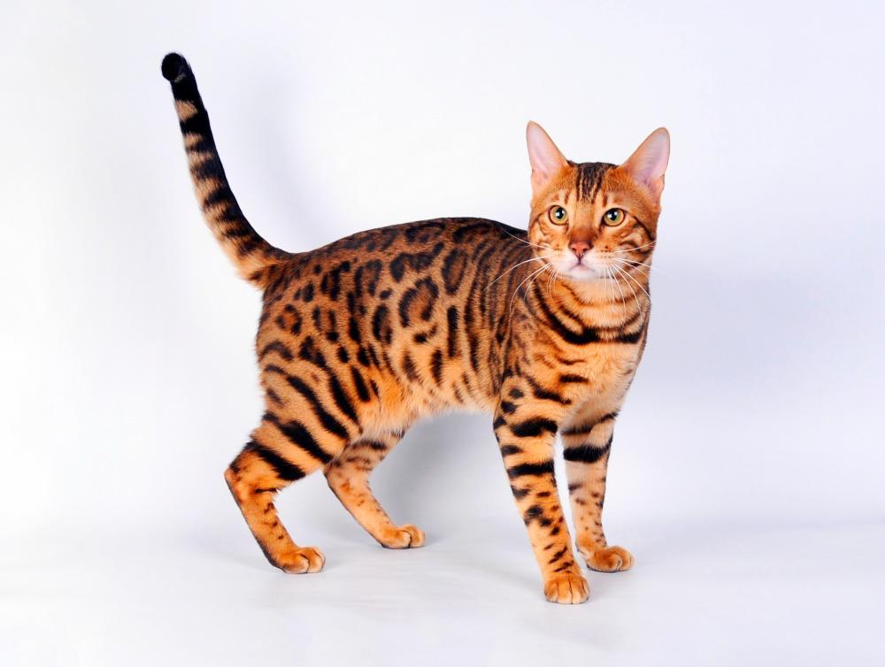 бенгальская кошка фото и описание характер