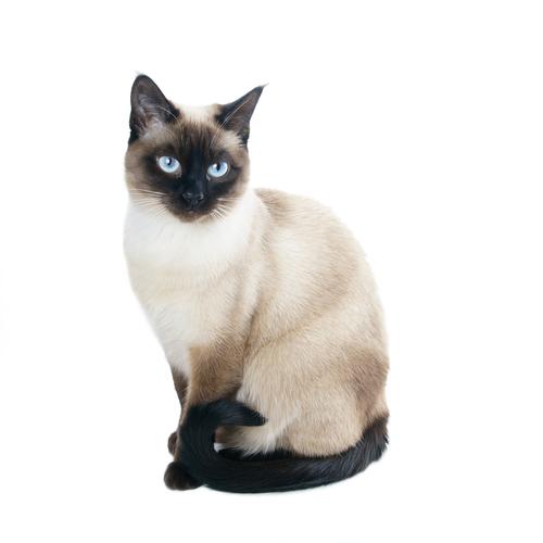 тайская кошка фото и цена