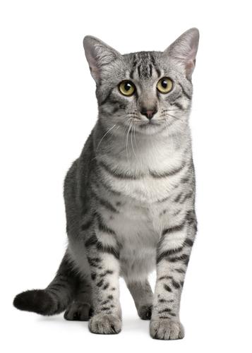 порода кошек египетская мау описание