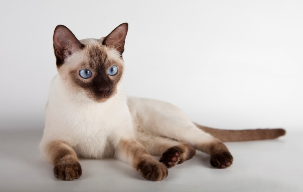 породы короткошерстных кошек с фотографиями и названиями
