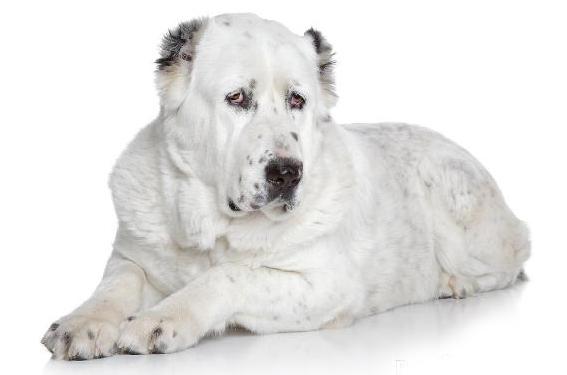 породы собак фото с названиями бойцовские