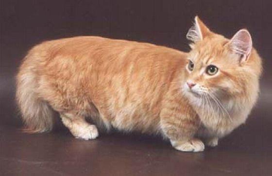 Редкие породы котов с фотографиями и названиями