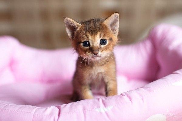 cute-abyssinian-kitten.jpg