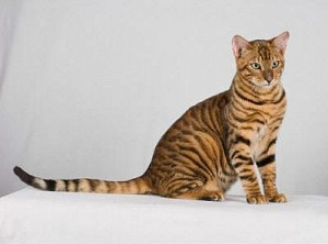 Кот породы Уссурийская кошка каталог пород кошек и котят на официальном сайте корма Бош