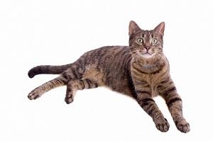 Кот породы Дракон Ли,  Ли Хуа ( Ли Мао ) каталог пород кошек и котят на официальном сайте корма Бош